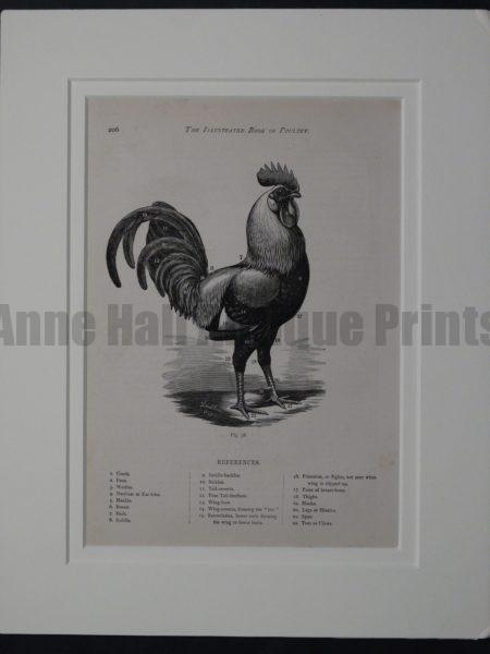 Matted Chicken Diagram, c.1880. $85.