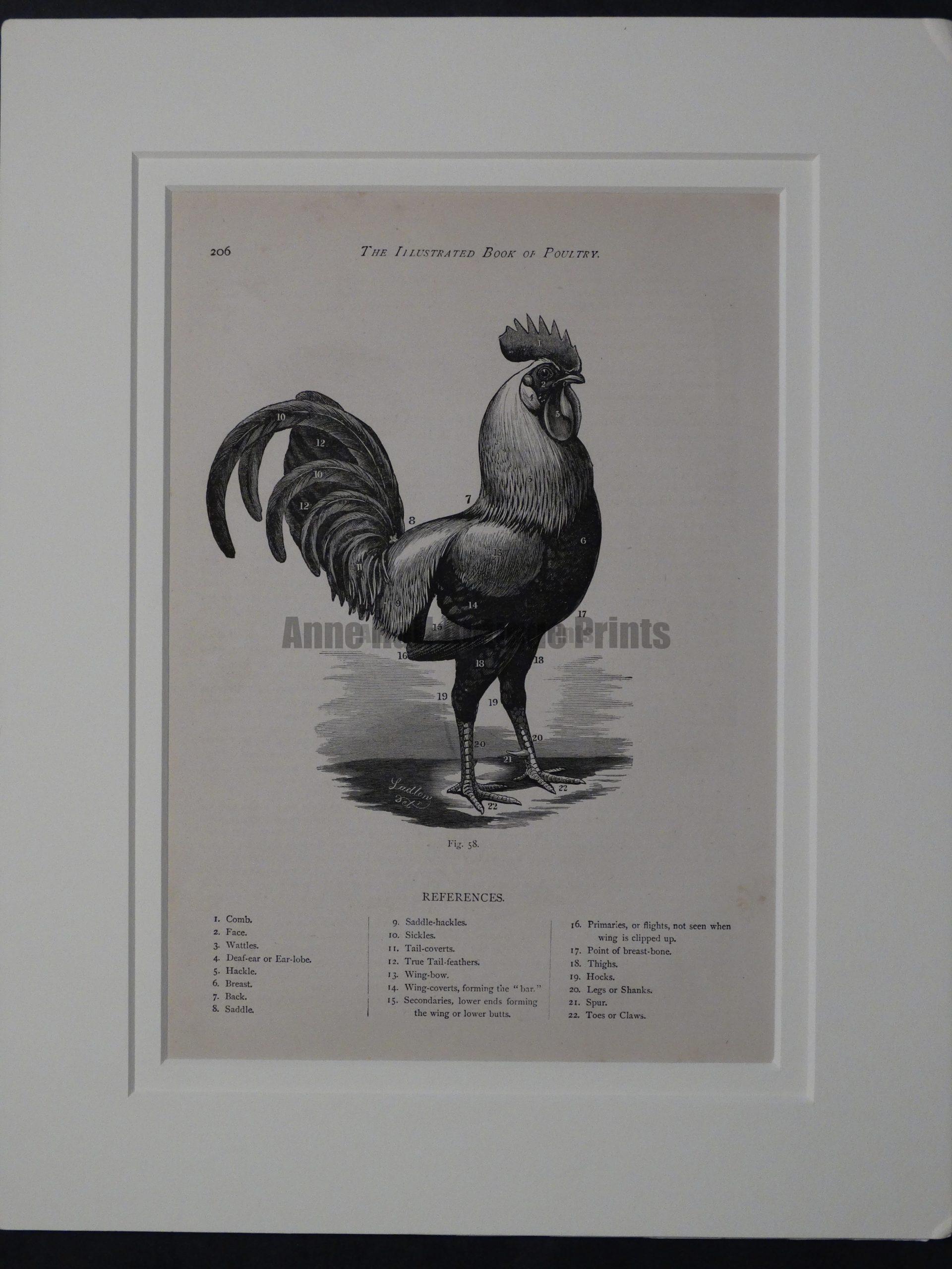Matted Chicken Diagram, c.1880. $85.