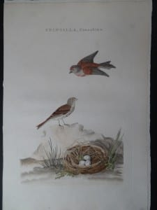 Fringilla, Cannabina