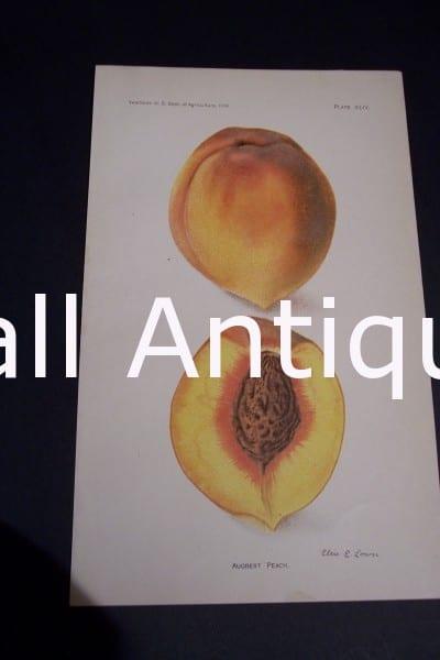 Fruit USDA Augbert Peach