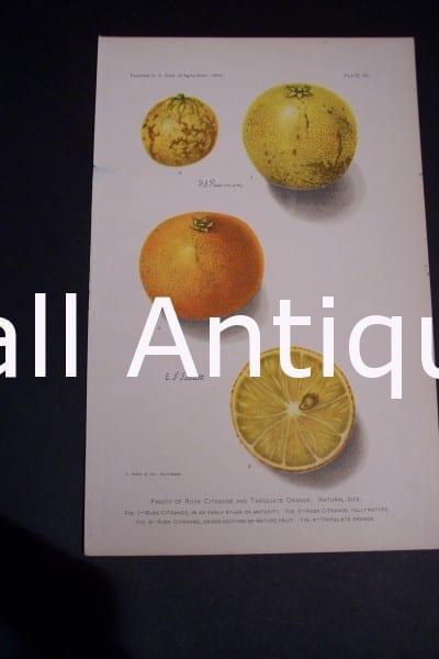 Fruit USDA Citrange and Orange