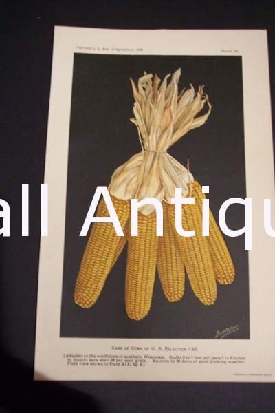 Fruit USDA Ears of Corn