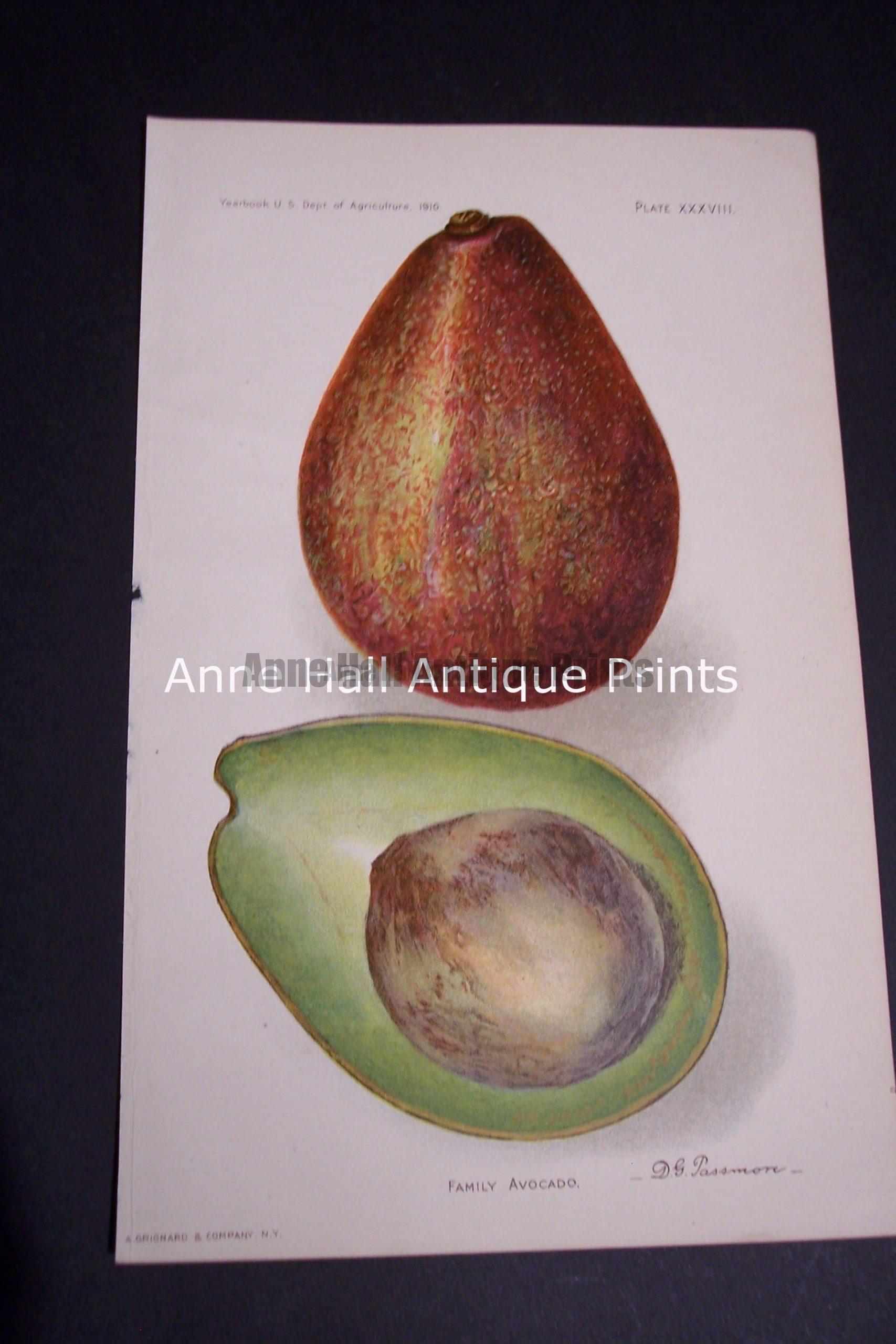 Fruit USDA Family Avocado