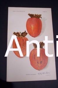 Fruit USDA Ormond Persimmon