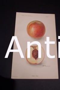 Fruit USDA Russell Peach