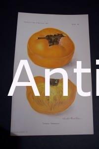 Fruit USDA Tamopan Persimmon