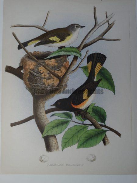 Gentry American Redstart