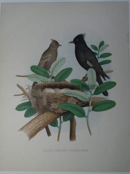 Gentry Black Crested Flycatcher