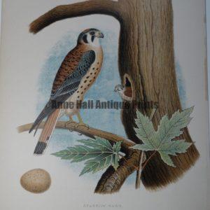 Gentry Sparrow Hawk