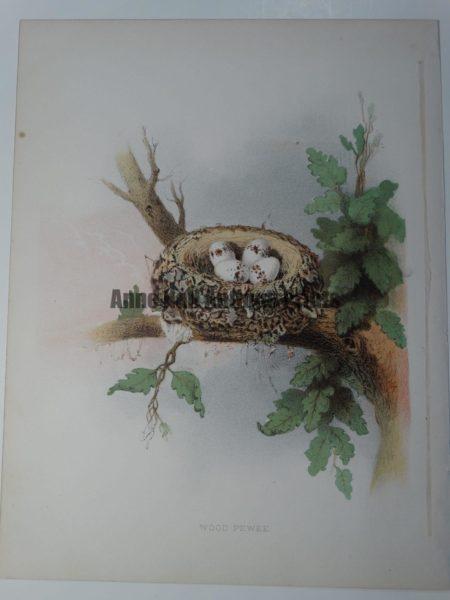 Gentry Wood Peewee Nest