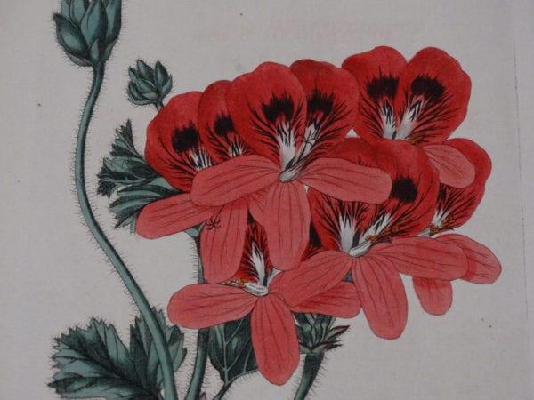 Pelagonium watercolor engravings, 200 years old.