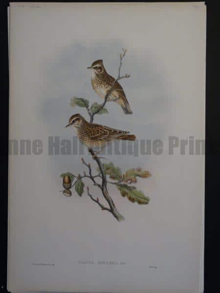 Gould Song Birds Alauda Arborea