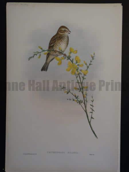 Gould Song Birds Crithophaga Miliaria