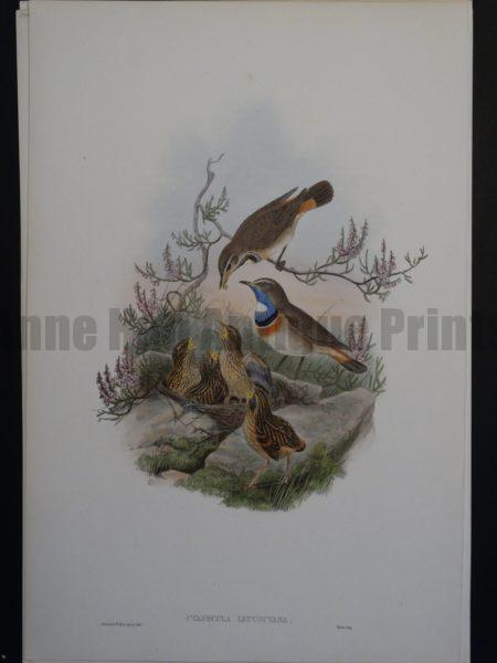 Gould Song Birds Cyanecula Leucocyana