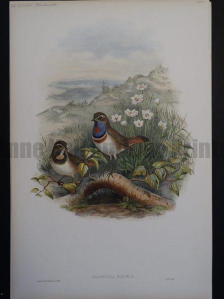 Gould Song Birds Cyanecula Suecica