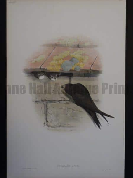 Gould Song Birds Cypselus Apus