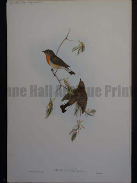 Gould Song Birds Erythrosterna Parva