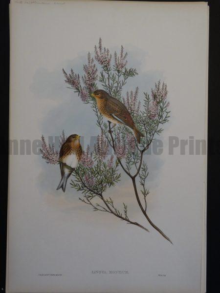 Gould Song Birds Linota Montium