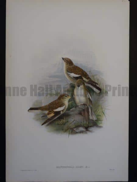 Gould Song Birds Montifringilla Adamsi