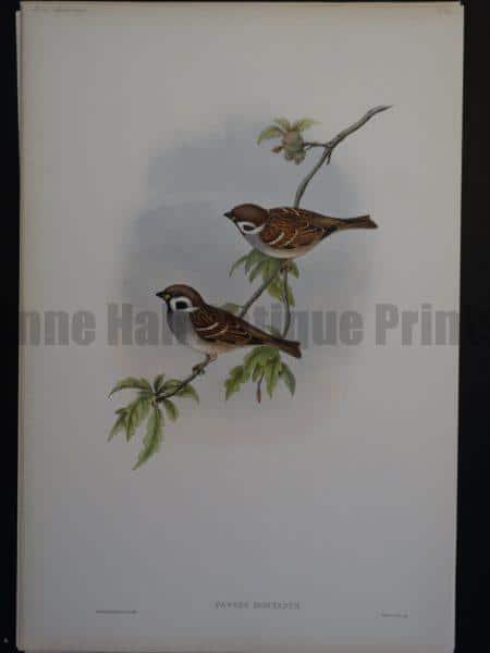 Gould Song Birds Passer Montanus