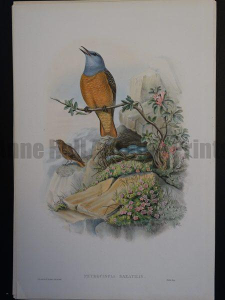 John Gould Rock Thrush hand colored lithograph