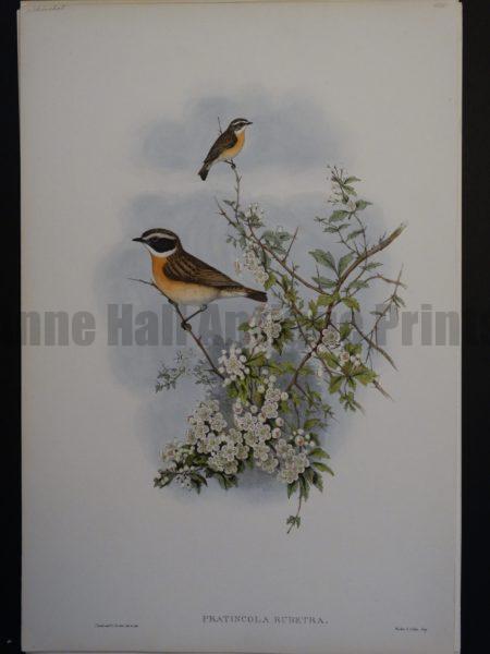 Gould Song Birds Pratincola Rubetra