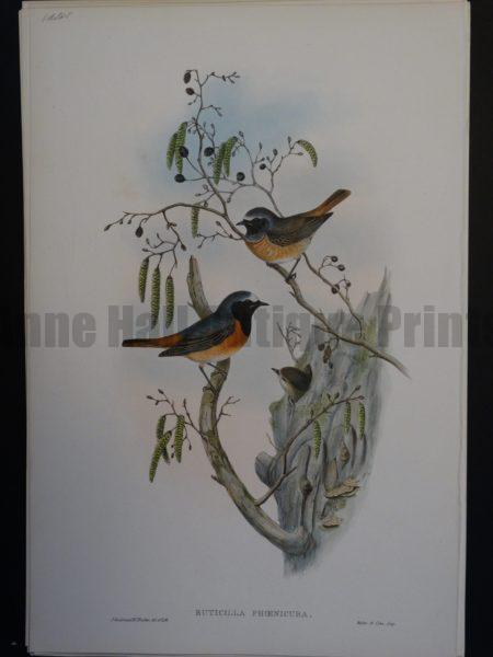 Gould Song Birds Ruticilla Phoenicura