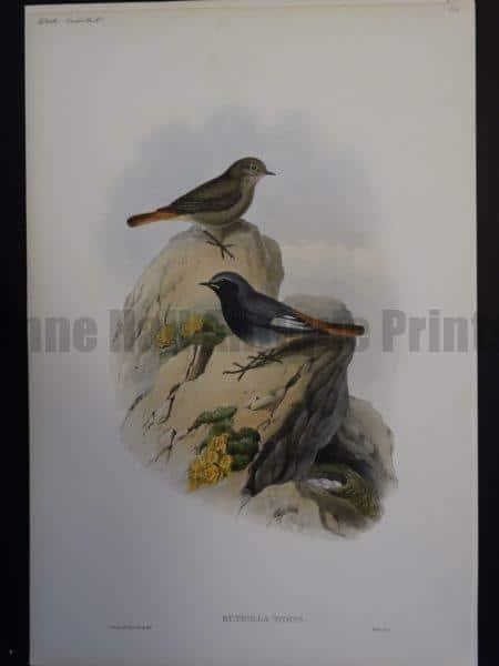 Gould Song Birds Ruticilla Tithys