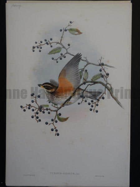 Gould Song Birds Turdus Iliacus
