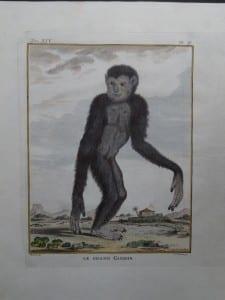 Great Gibbon Monkey