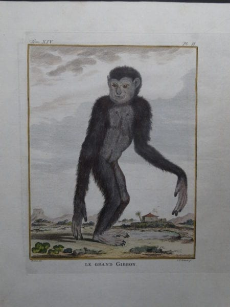 Great Gibbon Monkey