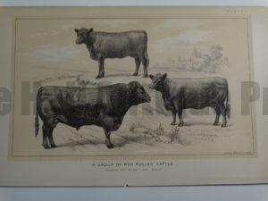 Group of Red Polled Cattle