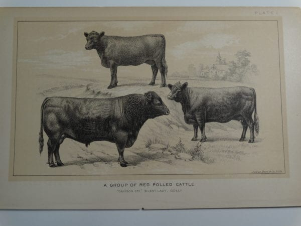 an 1888 lithograph of a Group of Red Polled Cattle