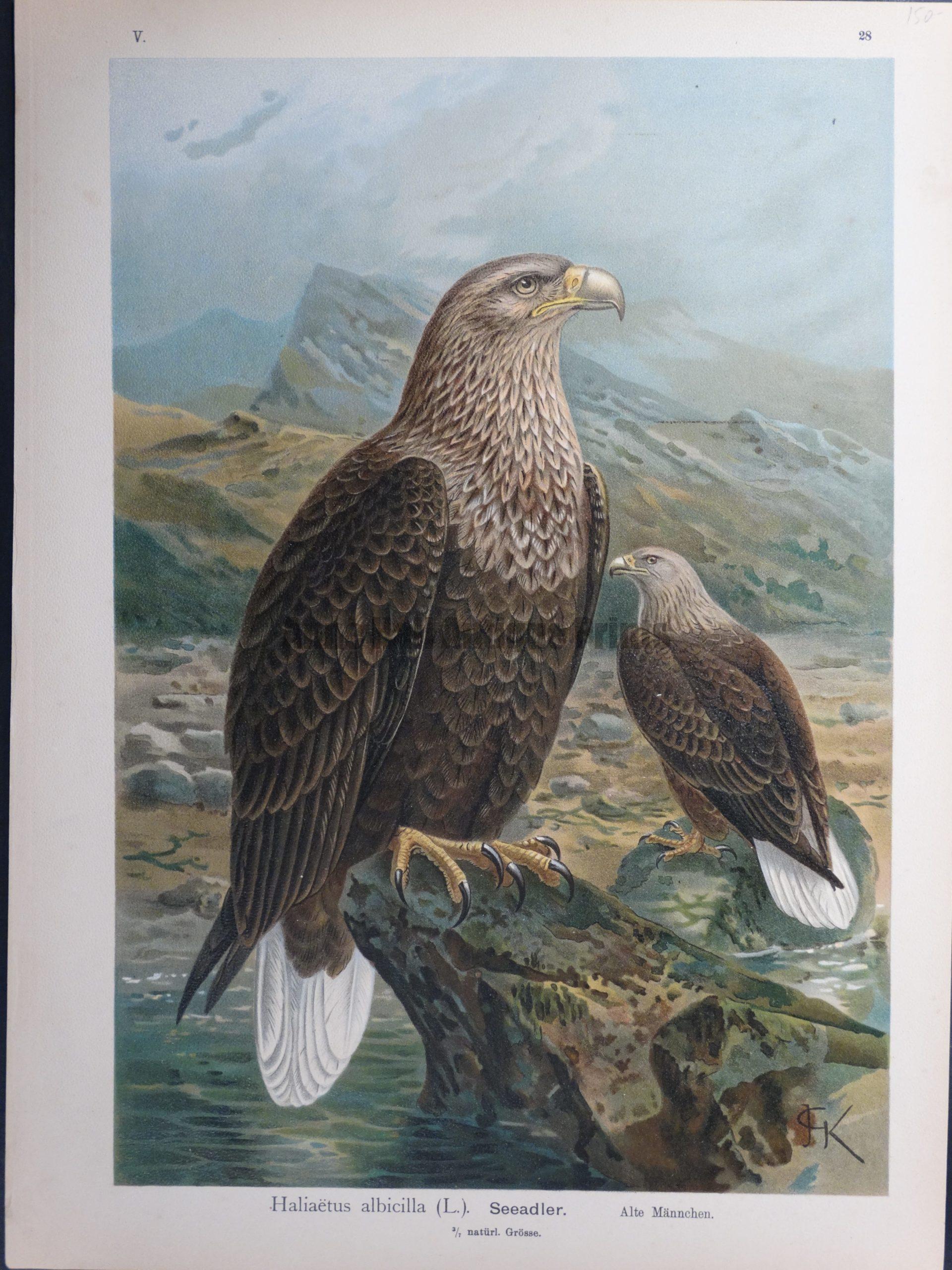 Haliaetus albicilla, 1895