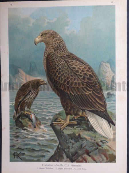 Haliaetus albicilla, 1895. $45.