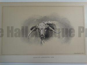 Head of a Longhorn Cow