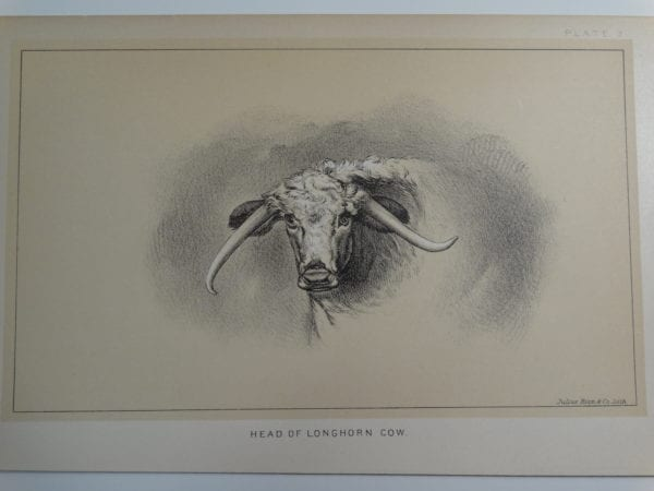 an 1888 lithograph of a Head of a Longhorn Cow