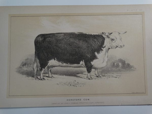 an 1888 lithograph of a Hereford Cow