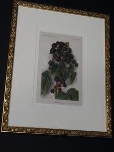 raspberries antique print framed