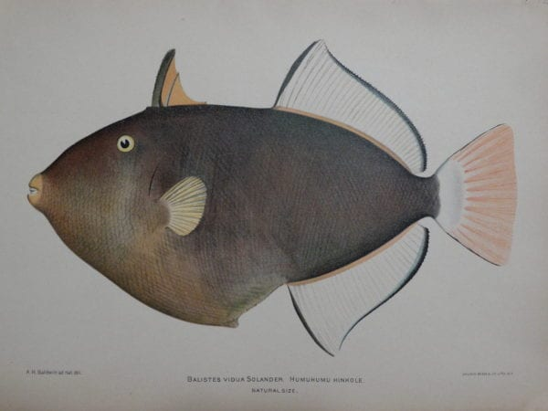 Humuhumu Hinkole, 1903. $125.