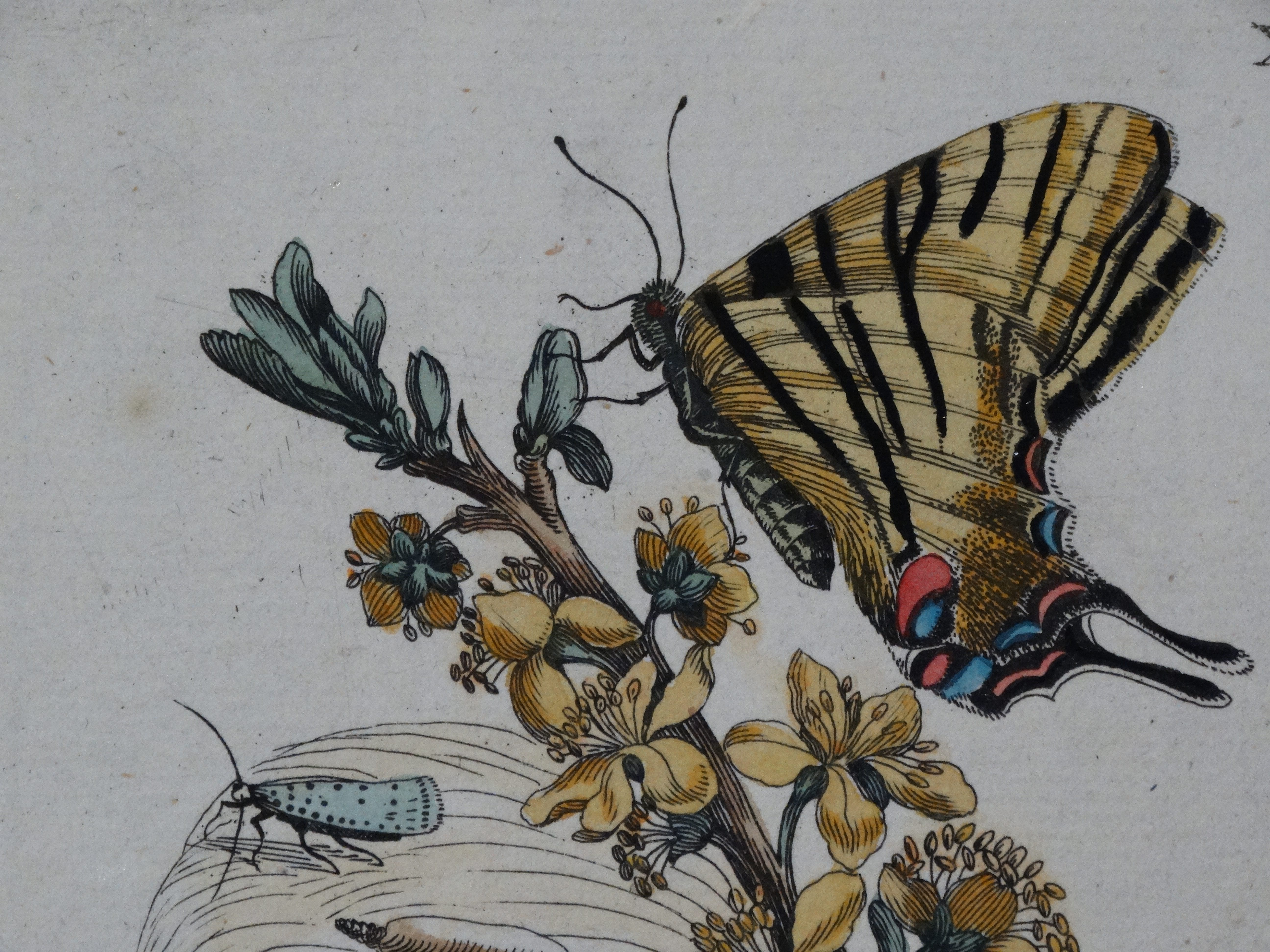 Insect Prints Maria Sybilla Merian.  Her Insects of Surinam and Insects of Europe illustrate the Transformations & Metamorphosis of Insects and the plants on which they fed.   These  Insect Prints by Maria Sybilla Merian, are some of the most famous documents published on the subject of Insect transformation during the 18th Century.