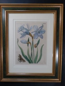 Maria Sybilla Merian Metamorphosis Insects of Europe 1730 FR2 $600. Paperwhite Daffodils.