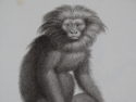 Jacobs Monkey antique engravings and lithographs
