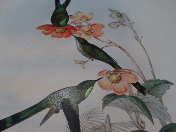 Our exquisite originally hand-colored lithographs from A Monograph of the Trochilidae