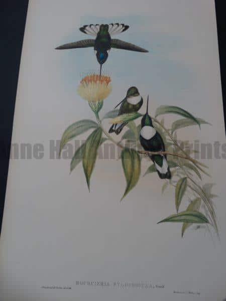 John Gould Hummingbirds Boi'rcieria Fulgidigula