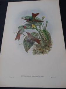 John Gould Hummingbirds Diphlogaena Hesperus