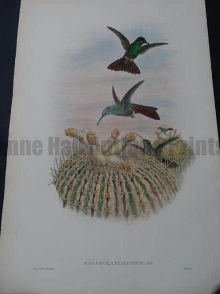 John Gould Hummingbirds Iiypuroptila Melanorrhoa