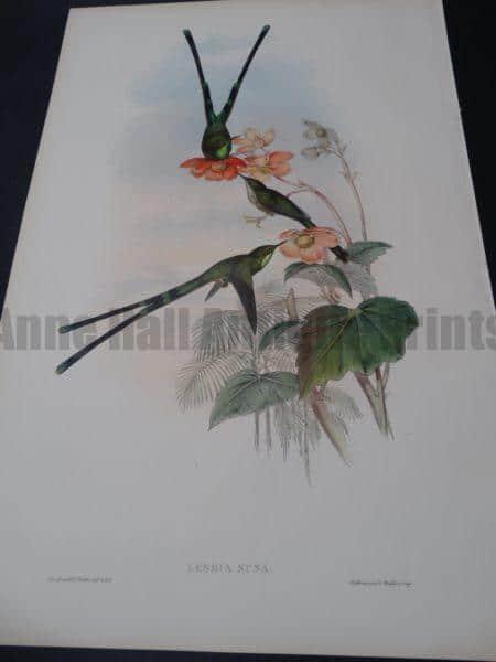 John Gould Hummingbirds Lesbia Nuna