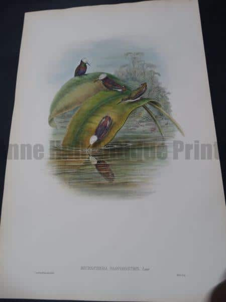 John Gould Hummingbirds Microchera Parvirostris