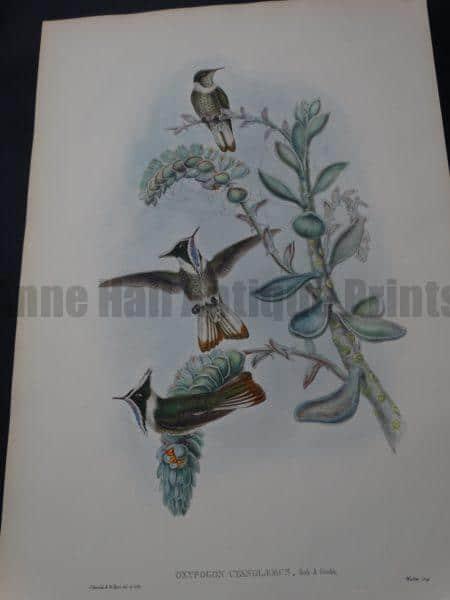 John Gould Hummingbirds Oxypogon Cyanolaemus